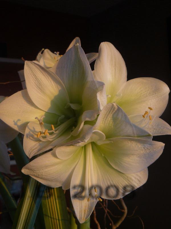 Amaryllis blanc vert galaxi jo l votre fleuriste for Amaryllis fleuriste