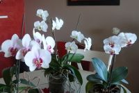 Phalaenopsis_04