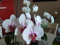 Phalaenopsis_03