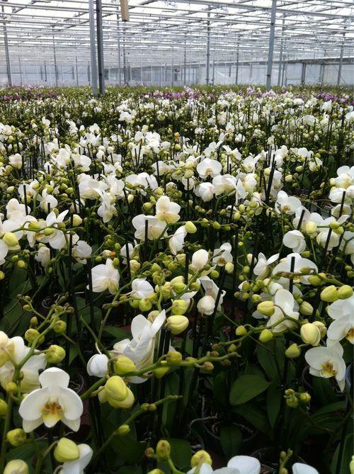 Serre de phalaenopsis