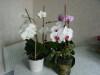 Orchide_phalaenopsis_02