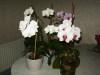 Orchide_phalaenopsis_03