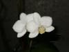Orchide_phalaenopsis_04