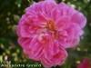 Rose_alexandre_girard
