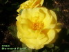 Rose_bernard_pivot_2