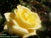 Rose_nicolas_hulot