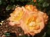 Rose_surf