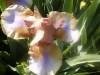 Iris_06
