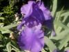 Iris_08