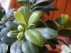Ficus_gingseng_12