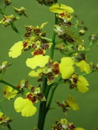 Orchidee oncidium jo l votre fleuriste - Pommier d amour entretien ...