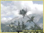 Chardon_bleu_00