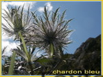 Chardons_bleus_03