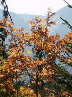 Hetre_automne