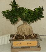 Ficus_microcarpa_gingseng_02_2