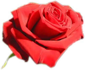 http://annflore.typepad.com/annflore_votre_fleuriste/images/2008/02/14/saint_valentin.png