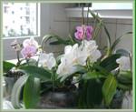 Phalaenopsis_bruffin_01