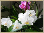 Phalaenopsis_bruffin_03