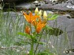 Lys_orange_01