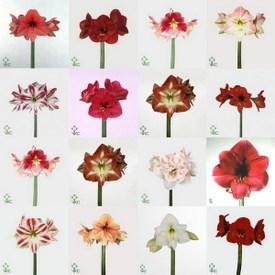 Amaryllis jo l votre fleuriste for Amarylice fleuriste lyon