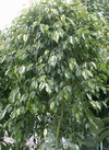 Ficus_benjamina_03_2