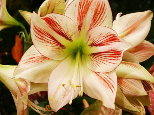 Fleurs amaryllis for Les amaryllis