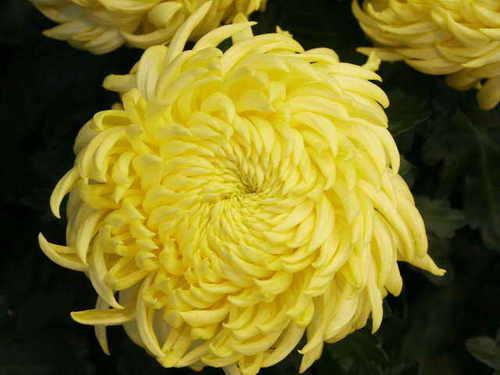 fleurs: Chrysantheme jaune