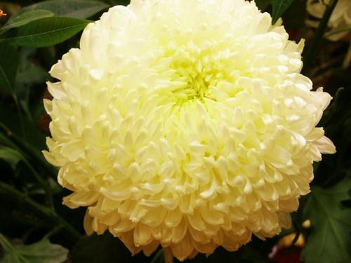 fleurs: Chrysantheme blanc