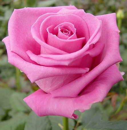 إهداءات  بين أعضاء المنتدى Rose_aqua