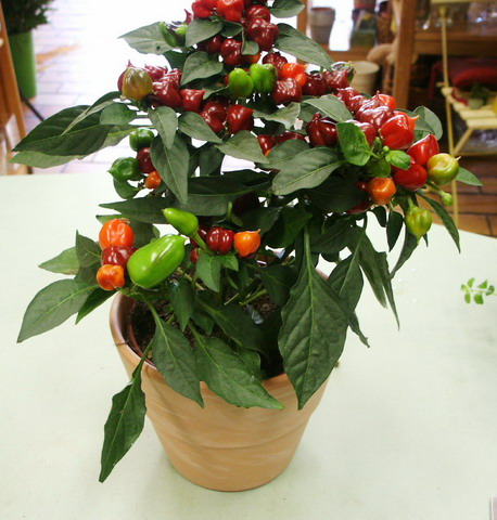 Poivron d coratif offert par ma petite fille - Quand planter les poivrons ...