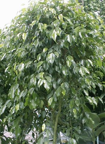 Ficus Benjamina Exterieur